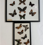 322. Two Taxidermy Butterfly Displays |  $112.50