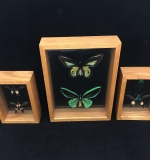 43. 3 Shadowbox-framed Mounted Insect Specimens |  $120