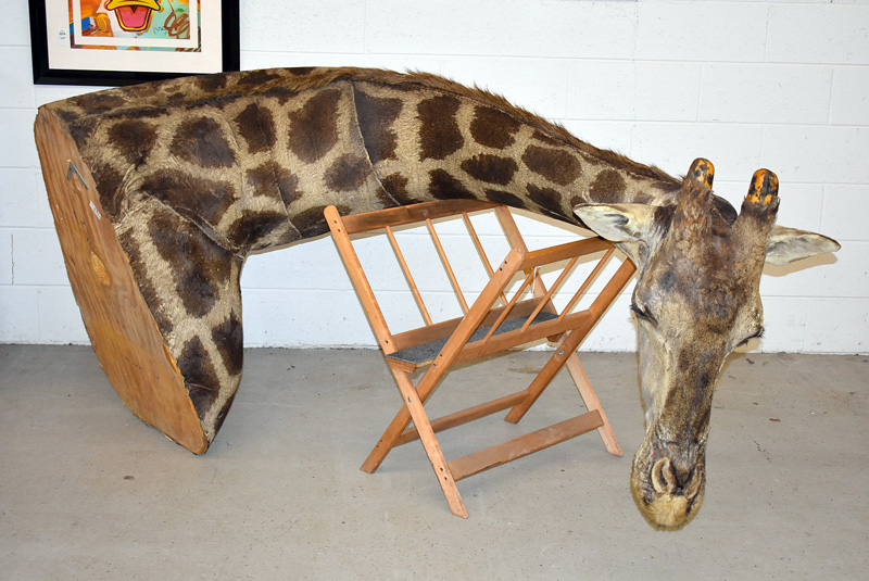 888. Large African Taxidermy Bull Giraffe Shoulder Mount. | $1,353