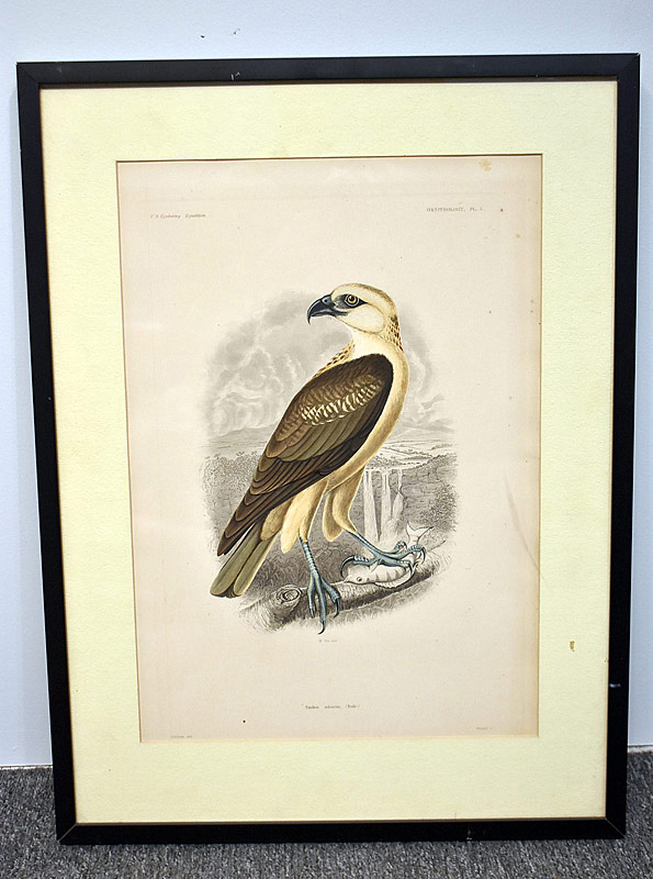 365. T.R. Peale. Hand-Colored Engraving, Hawk	|  $61.50